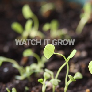 Personalised-seed-paper-watch_it_grow